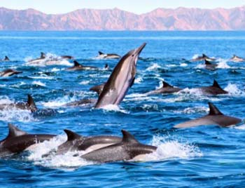 African bottlenose dolphins