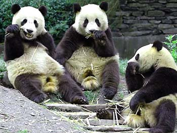 Chongqing Zoo Pandas