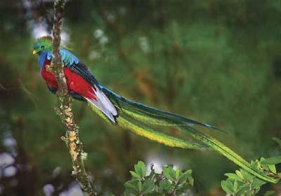 Quetzal, national bird Guatemala