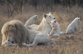 African white lions